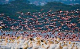 Huge flock of flamingos taking off. Kenya. Africa. Nakuru National Park. Lake Bogoria National Reserve. Stock Photo