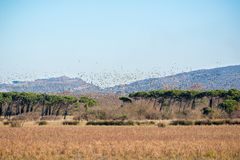 Huge flock of mallard. An huge flock of mallard Anas platyrhynchos Royalty Free Stock Images