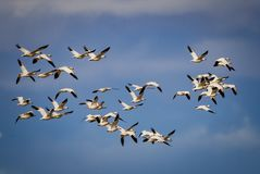 Huge flock of migrating snow geese in the blue sky Royalty Free Stock Photos