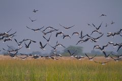 Huge Flock of Migratory geese taking off in nalsarovar. A huge flock of migratory and non migratory ducks at a wetland of western Indian state Gujarat royalty free stock photos