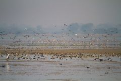 Huge Flock of Migratory Birds taking off. A huge flock of migratory and non migratory ducks at a wetland of western Indian state Gujarat stock photos