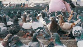 Huge Flock of Pigeons in the City Park. Lot of pigeons eat food outdoors in the city street. Feeding Pigeons on the sidewalk in the park. Thousands of pigeons stock video