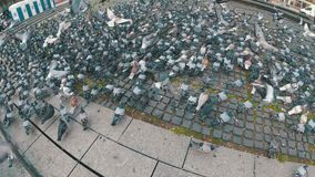 Huge Flock of Pigeons in the City Park. Slow Motion. Lot of pigeons eat food on the street. Feeding Pigeons on the sidewalk in the park. Thousands of pigeons stock video footage
