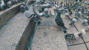 Huge Flock of Pigeons in the City Street. Slow Motion. Lot of pigeons eat food on the street. Feeding Pigeons on the sidewalk in the park. Thousands of pigeons stock video