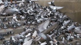 Huge Flock of Pigeons Eating Bread Outdoors in the City Park. Slow Motion. In 96 fps. Thousands of pigeons crowd on sidewalk. Lot of pigeons eat food on the stock video footage