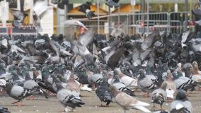 Huge Flock of Pigeons Eating Bread Outdoors in the City Park. Slow Motion. In 96 fps. Lot of pigeons eat food on the street. Feeding Pigeons on the sidewalk in stock video