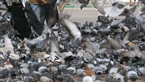Huge Flock of Pigeons Eating Bread Outdoors in the City Park. Slow Motion. In 96 fps. Thousands of pigeons crowd on sidewalk. Lot of pigeons eat food on the stock video