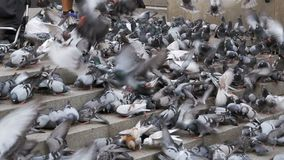 Huge Flock of Pigeons Eating Bread Outdoors in the City Park. Slow Motion. In 96 fps. Thousands of pigeons crowd on sidewalk. Lot of pigeons eat food on the stock footage