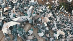 Huge Flock of Pigeons Eating Bread Outdoors in the City Park. Slow Motion. Lot of pigeons eat food on the street. Feeding Pigeons on the sidewalk in the park stock footage
