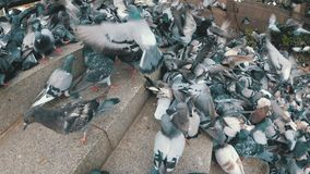 Huge Flock of Pigeons Eating Bread Outdoors in the City Park. Slow Motion. Lot of pigeons eat food on the street. Feeding Pigeons on the sidewalk in the park stock video