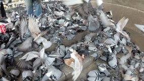 Huge Flock of Pigeons Eating Bread Outdoors in the City Street. Thousands of Pigeons Crowd on Sidewalk Eating Bread. Lot of pigeons eat food on the street stock video