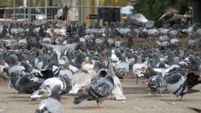 Huge Flock of Pigeons Eating Bread Outdoors in the City Street. Lot of pigeons eat food on the street. Feeding Pigeons on the sidewalk in the park. Thousands stock video