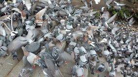 Huge Flock of Pigeons Eating Bread Outdoors in the City Street. Thousands of Pigeons Crowd on Sidewalk Eating Bread. Lot of pigeons eat food on the street stock footage