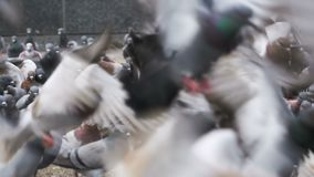 Huge Flock of Pigeons Eating Bread and Take off on the City Street. Slow Motion. In 96 fps. Thousands of pigeons crowd on sidewalk. Lot of pigeons eat food on stock video footage