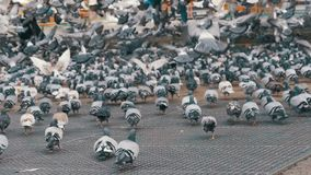Huge Flock of Pigeons Eating Bread and Take off on the City Street. Slow Motion. In 96 fps. Thousands of pigeons crowd on sidewalk. Lot of pigeons eat food on stock footage