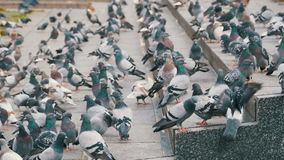 Huge Flock of Pigeons on the Steps at the City Street Eat Food in Slow Motion. Huge Flock of Pigeons on the Steps at the City Street Eat Food. Slow Motion in 96 stock video