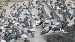 Huge Flock of Pigeons on the Steps at the City Street Eat Food in Slow Motion. Huge Flock of Pigeons on the Steps at the City Street Eat Food. Slow Motion in 96 stock video footage