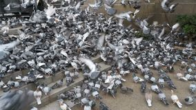 Huge Flock of Pigeons Take off on the City Street. Slow Motion. In 96 fps. Thousands of pigeons crowd on sidewalk. Lot of pigeons eat food on the street stock footage