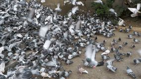 Huge Flock of Pigeons Take off on the City Street. Slow Motion. In 96 fps. Thousands of pigeons crowd on sidewalk. Lot of pigeons eat food on the street stock video