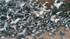 Huge Flock of Pigeons Take off on the City Street. Slow Motion. In 96 fps. Thousands of pigeons crowd on sidewalk. Lot of pigeons eat food on the street stock video footage