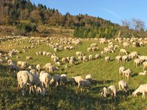 Huge flock of sheep and goats grazing in the mountains Stock Photos