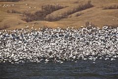 Huge flock of Snow Geese Stock Photo