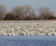 Snow Geese on lake Stock Photo