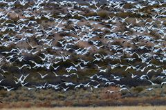 Huge flock of white snow geese take flight in Bosque del Apache Stock Photos