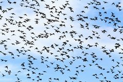 Huge flocks of starlings migrate south. Wildlife, unique frames Royalty Free Stock Photography