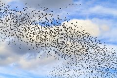 Huge flocks of starlings in the sky with clouds stock image