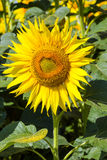 Huge flower sunflower. Royalty Free Stock Photo