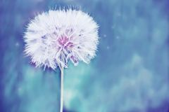 A huge fluffy white dandelion flower ball. Close-up. soft bright backdrop. Lots of free space. soft focus Stock Image