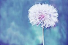 A huge fluffy white dandelion flower ball. Close-up. soft bright backdrop. Lots of free space. soft focus Royalty Free Stock Images