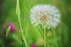 A huge fluffy white dandelion flower ball. Natural green background of a spring, summer meadow. Close-up Royalty Free Stock Photo