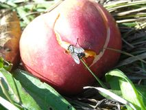 Huge fly on a decayed apple Royalty Free Stock Photo