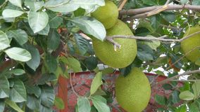 Huge fruits of the breadfruit grow right on the street of Thailand. Exotic fruits on the tree. The huge fruits of the breadfruit grow right on the street of stock video