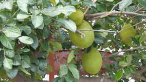 Huge fruits of the breadfruit grow right on the street of Thailand. Exotic fruits on the tree. The huge fruits of the breadfruit grow right on the street of stock footage