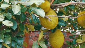 Huge fruits of the breadfruit grow right on the street of Thailand. Exotic fruits on the tree. The huge fruits of the breadfruit grow right on the street of stock video footage