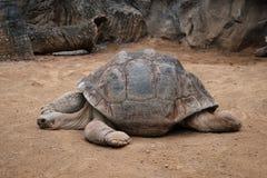 Huge galapagos tortoise, giant turtle lying on floor.  stock image