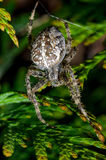 Huge garden spider sitting in the hedge Stock Images