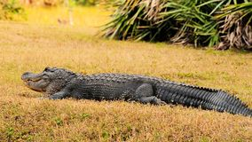 Huge Gator Stock Images