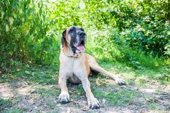 Huge german mastiff male dog sitting on grass watching beside the camera stock photo