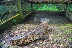 Huge giant crocodile Stock Images