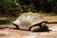 Giant turtle walking in nature of Africa. Huge giant turtle in the wild nature of Africa wildlife. Big turtle moving with long neck Haller Park in Mombasa, Kenya Stock Photography