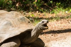 Giant turtle walking in nature of Africa. Huge giant turtle in the wild nature of Africa wildlife. Big turtle moving with long neck Haller Park in Mombasa, Kenya Stock Images