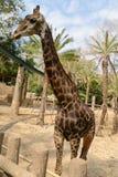 Huge giraffe walking in zoopark Stock Photography