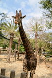 Huge giraffe walking in zoopark Stock Images