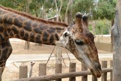 Huge giraffe walking in zoopark Stock Photo
