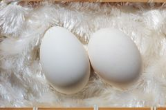 Huge goose egg. A close-up of a goose egg Stock Image