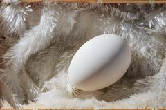 Huge goose egg. A close-up of a goose egg Stock Photo